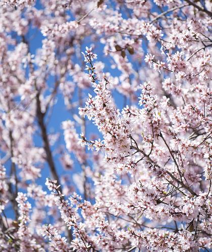 almond blossom 2015